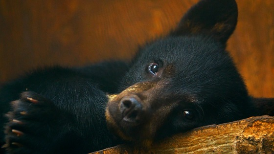 Orphaned Bear Cubs Get a Second Chance in Animal Planet's Touching New Original Canadian Series WILD BEAR RESCUE, Beginning June 23