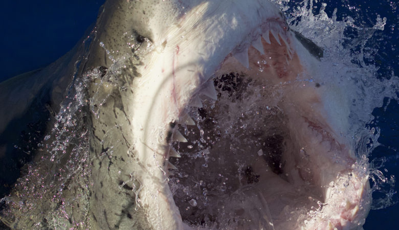 Bigger, Bolder, and With More Bite!  Discovery Announces Star-Studded SHARK WEEK Programming, Led by Flagship Series DAILY PLANET, July 23-30