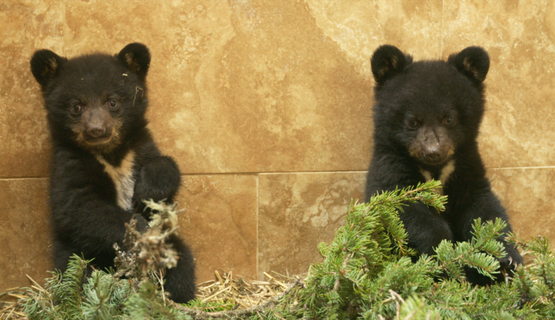 Cutest Cubs Ever!  WILD BEAR RESCUE Returns for Season 2, Premiering June 22 on Animal Planet